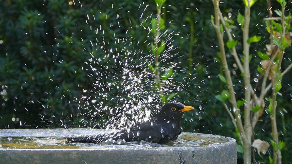 Merel in een vogelbad