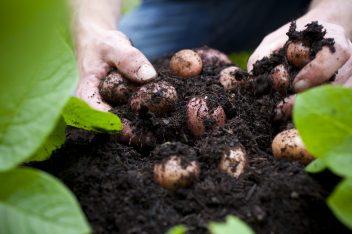 aardappelen kweken in een zak