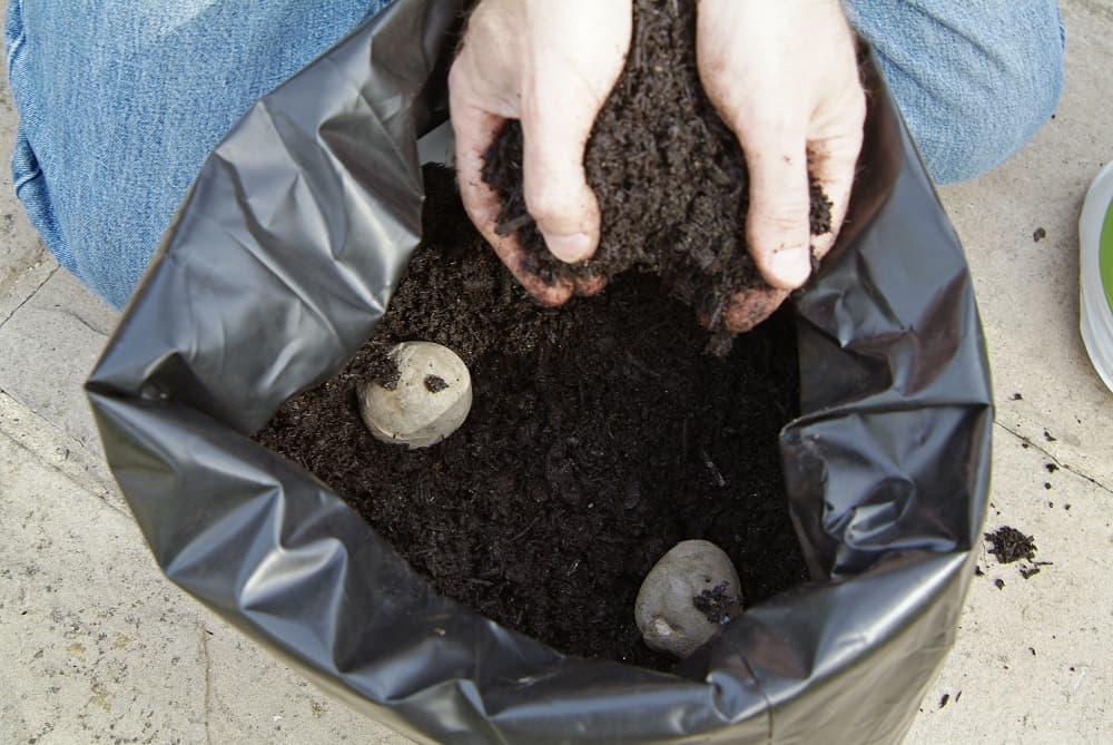 Aardappelen kweken in een zak met een laag potgrond