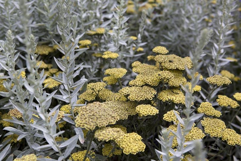 D uizendblad (Achillea millefolium) bloemenweide