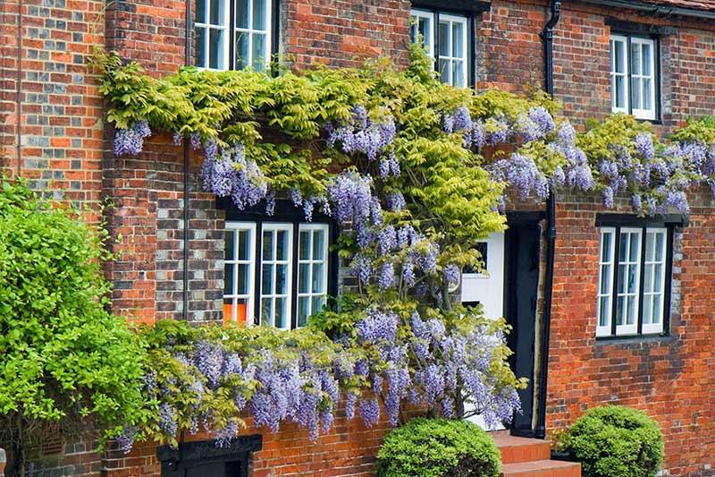 Blauweregen groeiend tegen een huis