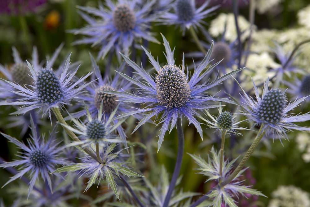 Vaste planten voor bijen en vlinders: kruisdistel