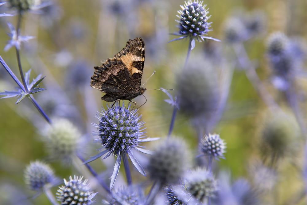 Vlinder op kruisdistel (Eryngium)