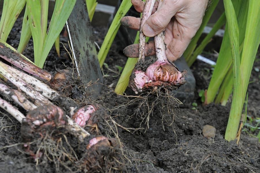 gladiolen overwinteren