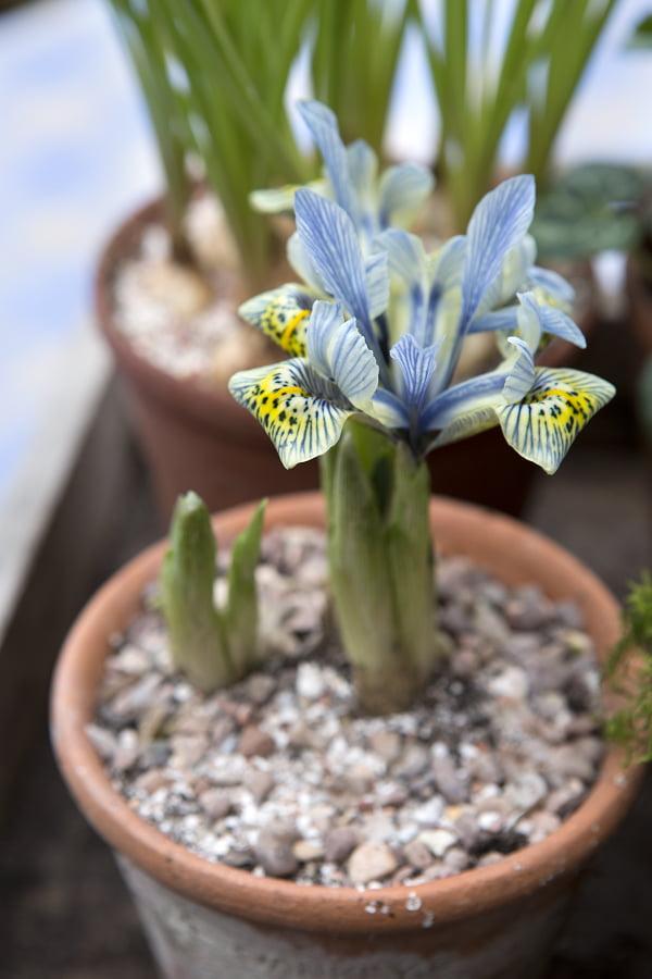 Iris reticulata Katharine Hodkin