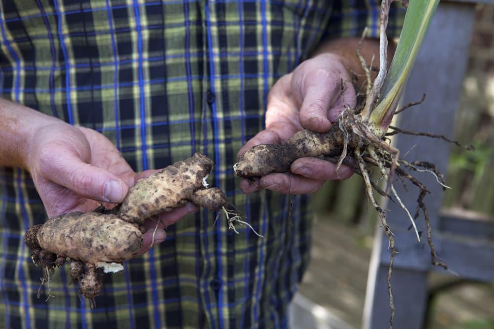 Veel irissen groeien uit wortelstokken.