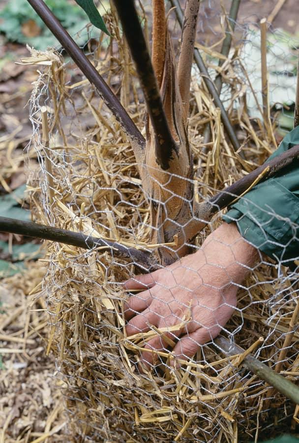 Bescherm exotische planten met stro.