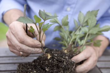 Knollen stekken van dahlia's