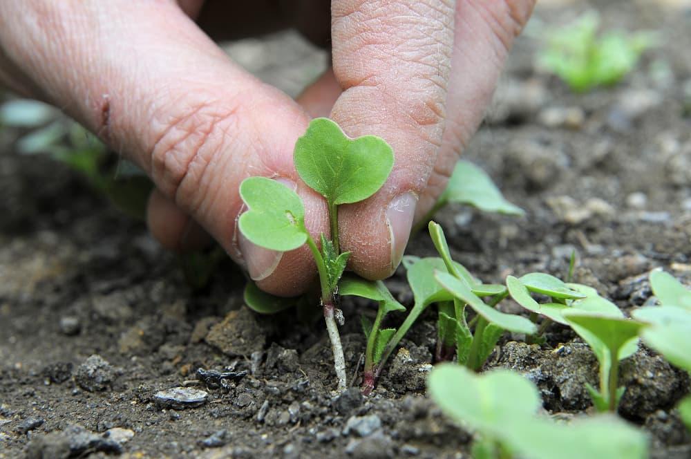 radijs kweken: uitdunnen
