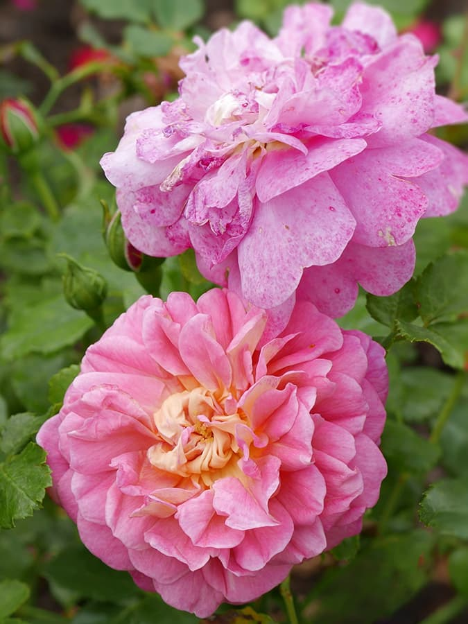 Rosa 'Christopher Marlowe'
