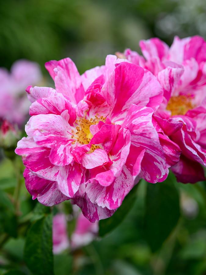 Vaste planten voor bijen en vlinders: Rosa mundi