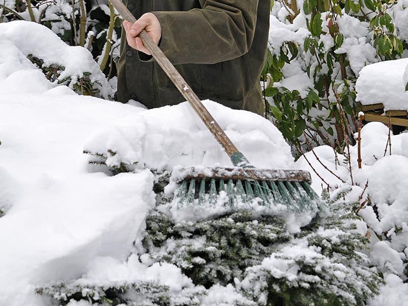 Checklist voor de tuin: veeg sneeuw van struiken af.