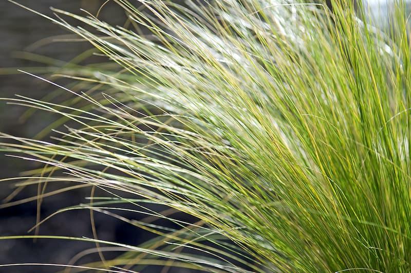 Stipa tenuissima (vedergras)