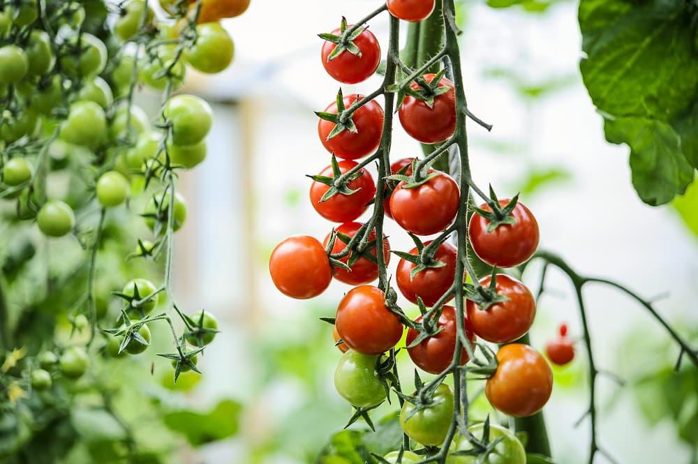 Tomaten zaaien voor beginners