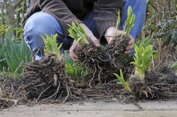vaste planten delen door ze te scheuren