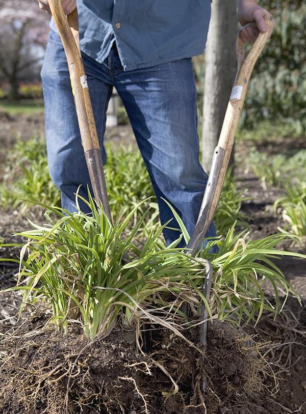vaste planten delen met tuinvorken