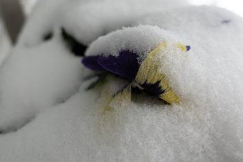 Viooltje in de sneeuw