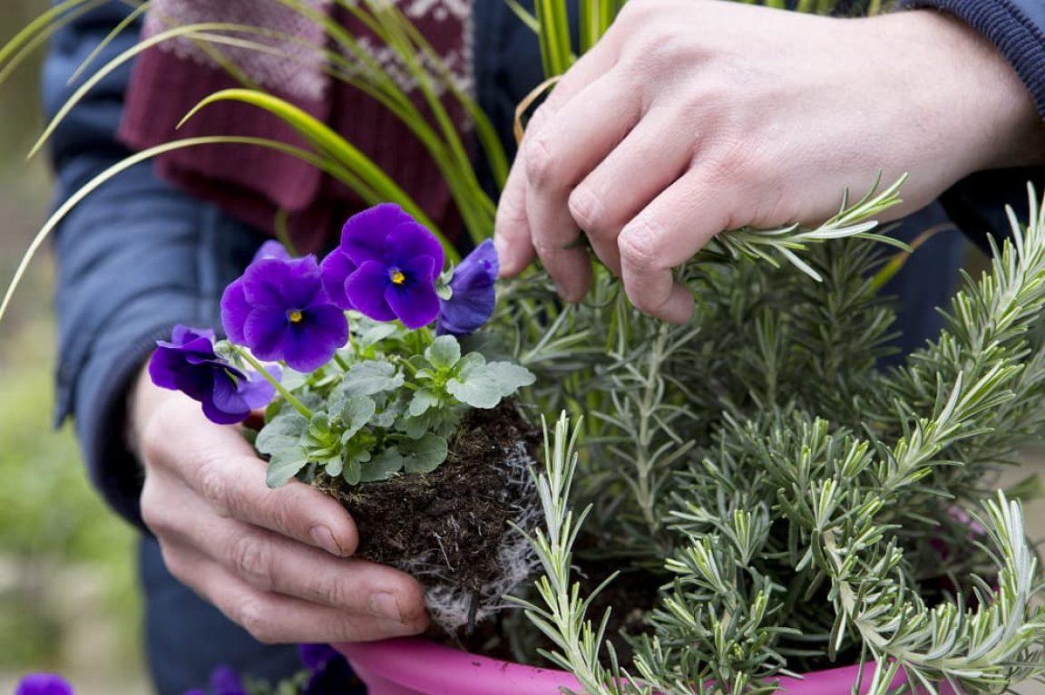 Checklist viooltjes met rozemarijn