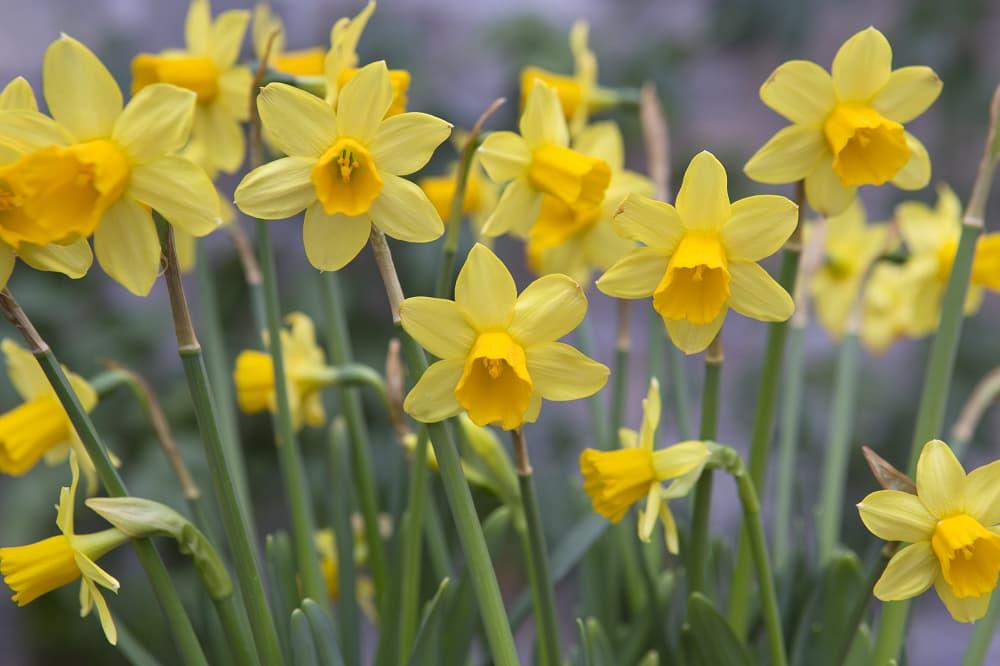 Lente bloembollen narcissen