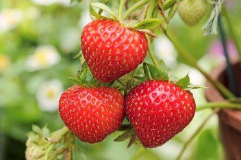 aardbeienplanten lenteklaar maken