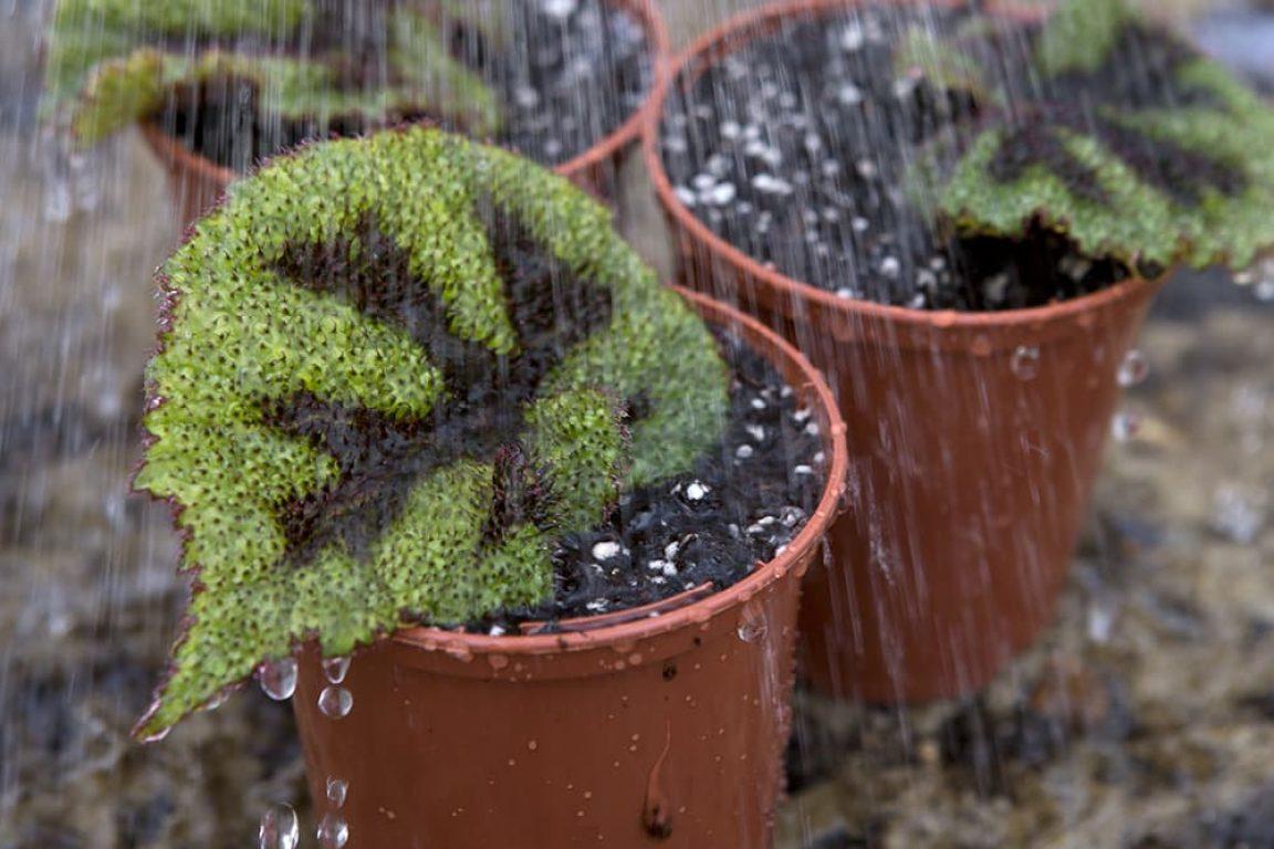 Begonia rex stekken