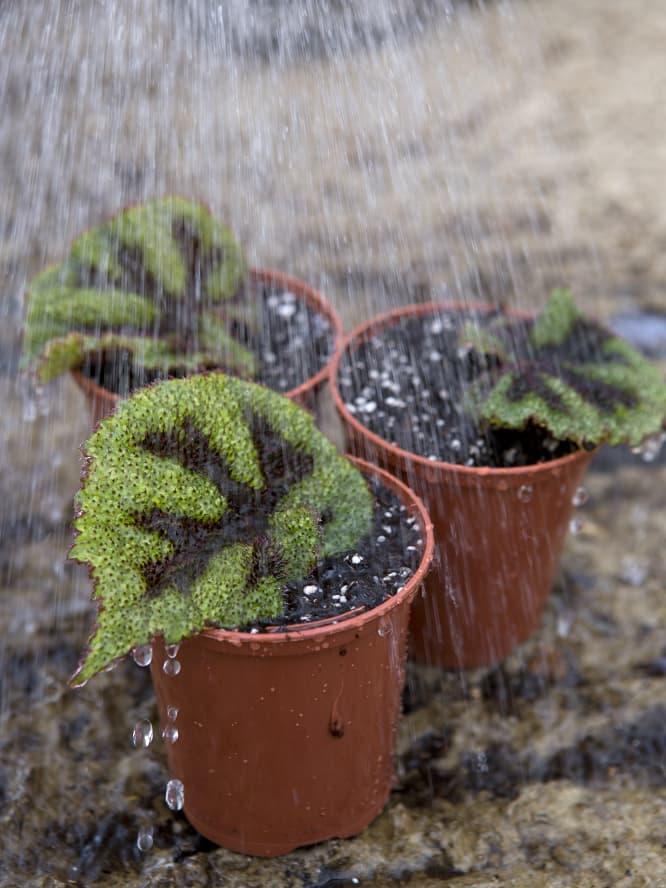 Geef de Begonia rex stekken water.