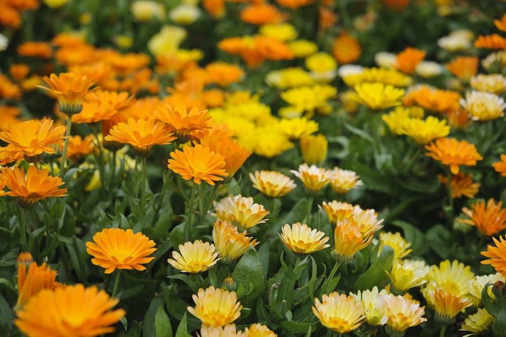 Snijbloemen zaaien in maart: goudsbloem