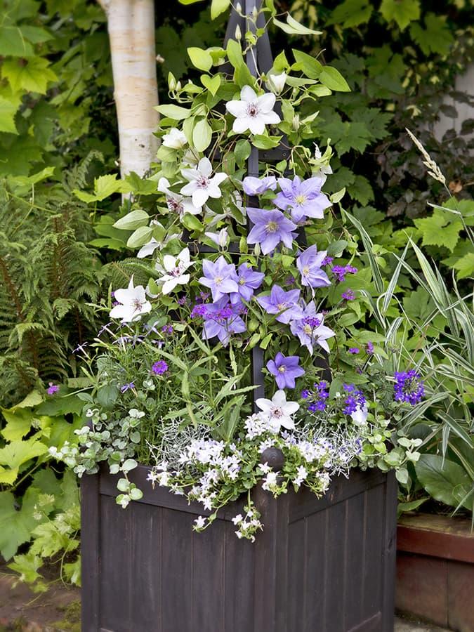 Clematis planten in een pot