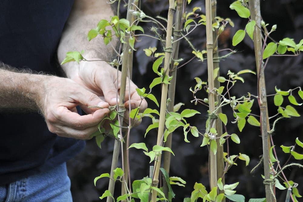 Clematis planten stap 4