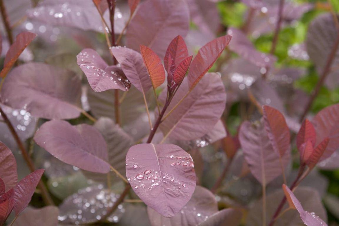 Pruikenboom snoeien (Cotinus)