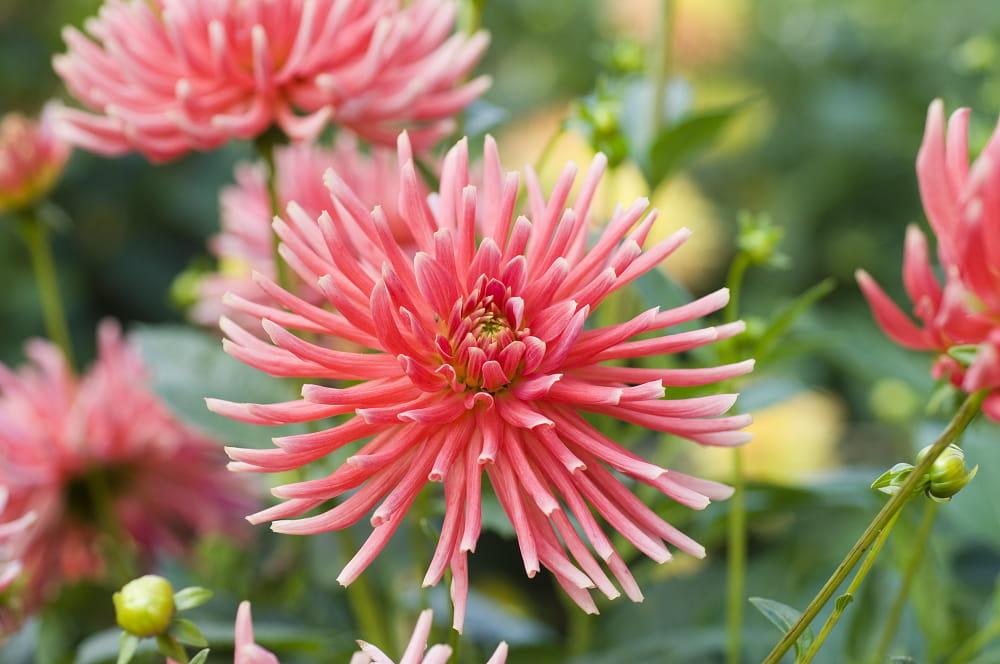 Cactusdahlia