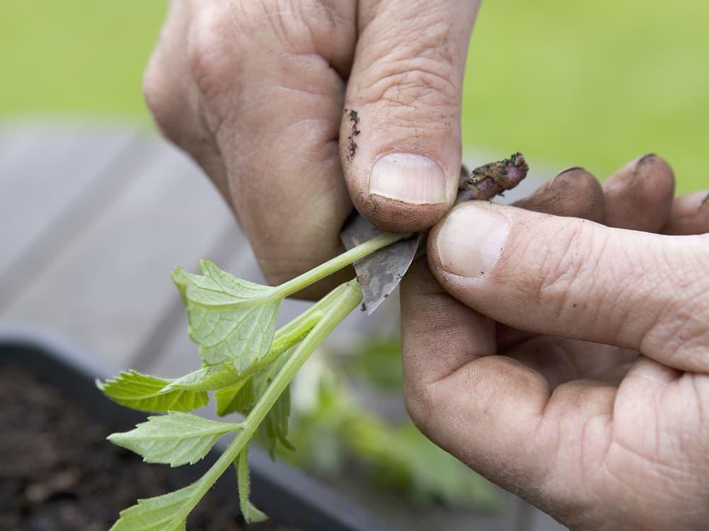 dahlia's stekken: verwijder het onderste blad
