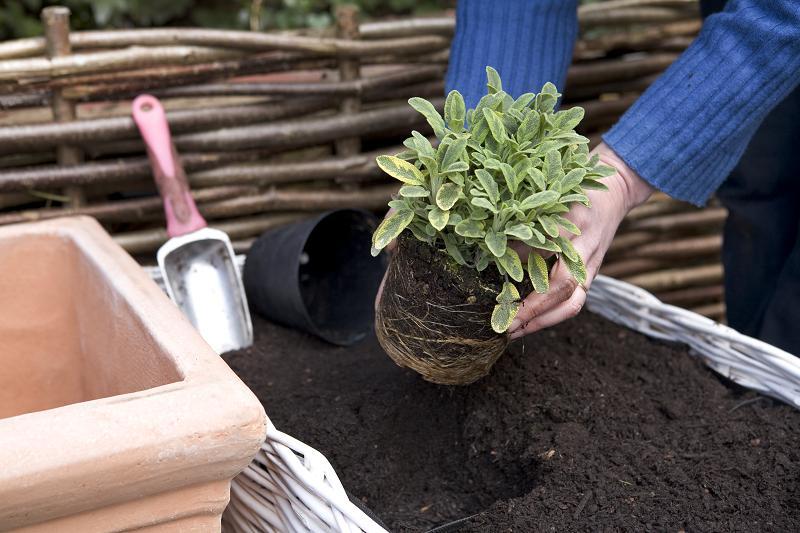 Echte salie uitplanten