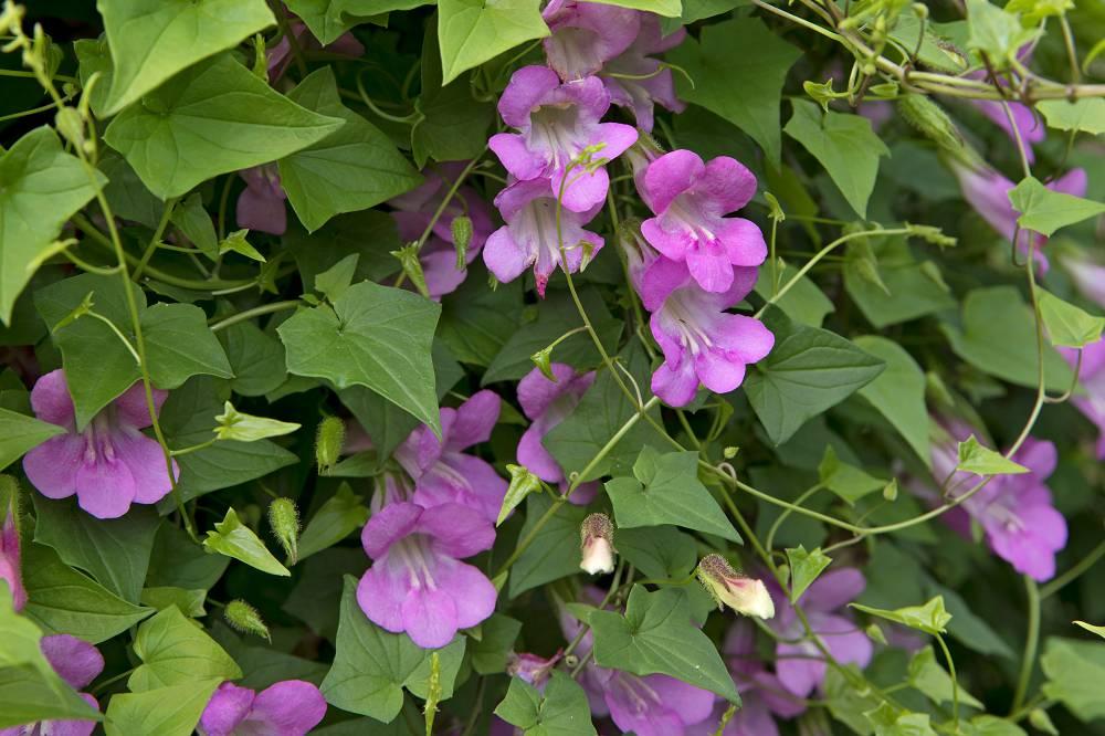 eenjarige klimplanten (Asaraina scandens)