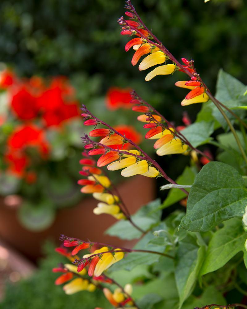 Eenjarige klimplanten: Spaanse vlag