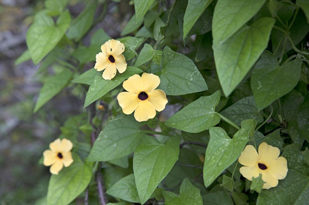 Eenjarige klimplanten: Thunbergia alata