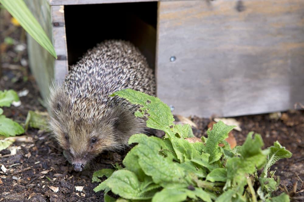 Plaats een egelhuis voor egels in je tuin