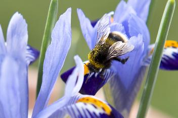 wilde bijen: hommel op Iris reticulata