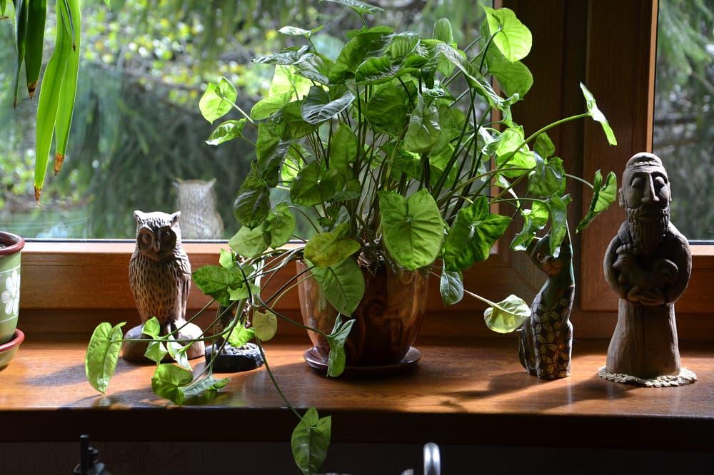 Kamerplant op vensterbank