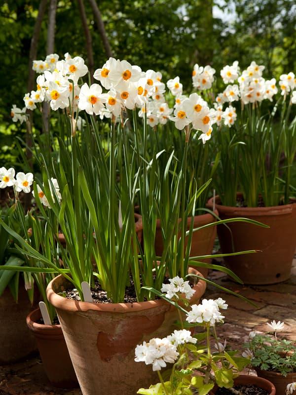 Mooiste narcissen: Narcissus 'Geranium'