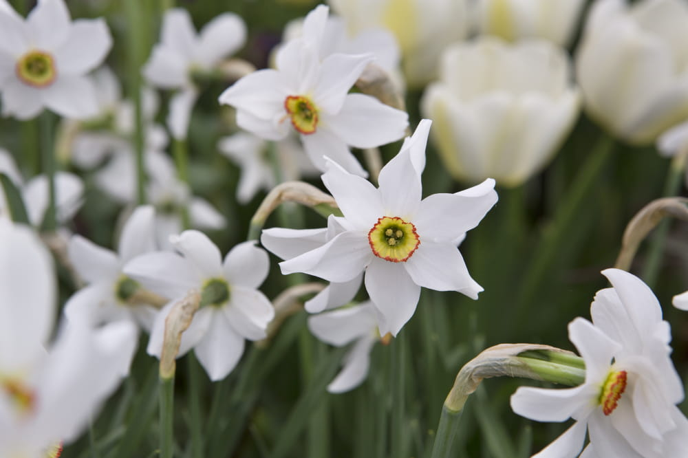 Narcissus poeticus (dichtersnarcis)