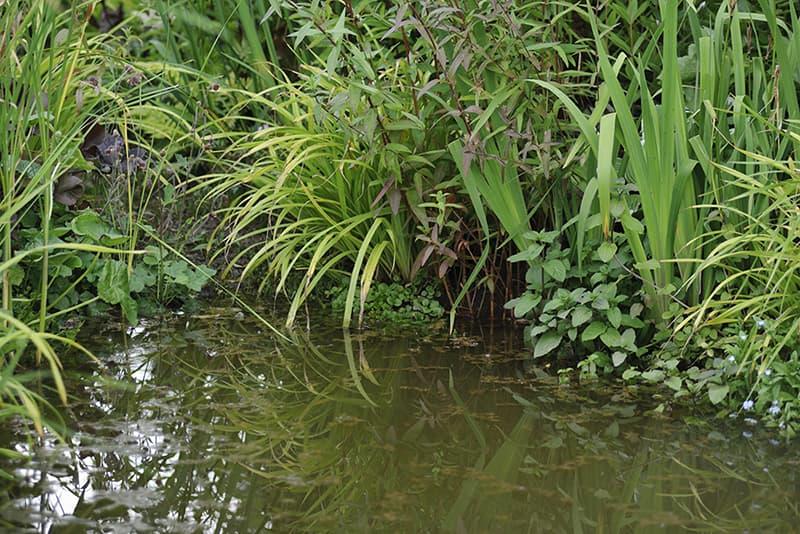 Een natuurlijke vijver met oeverplanten.