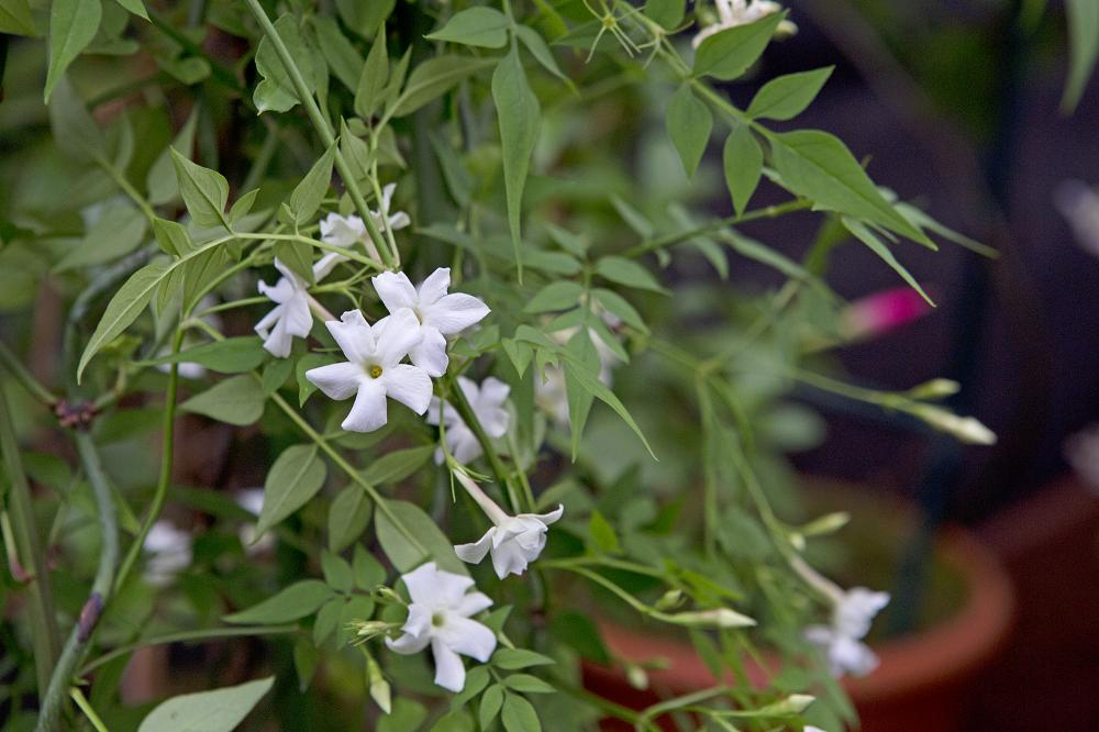 Jasminum officinale