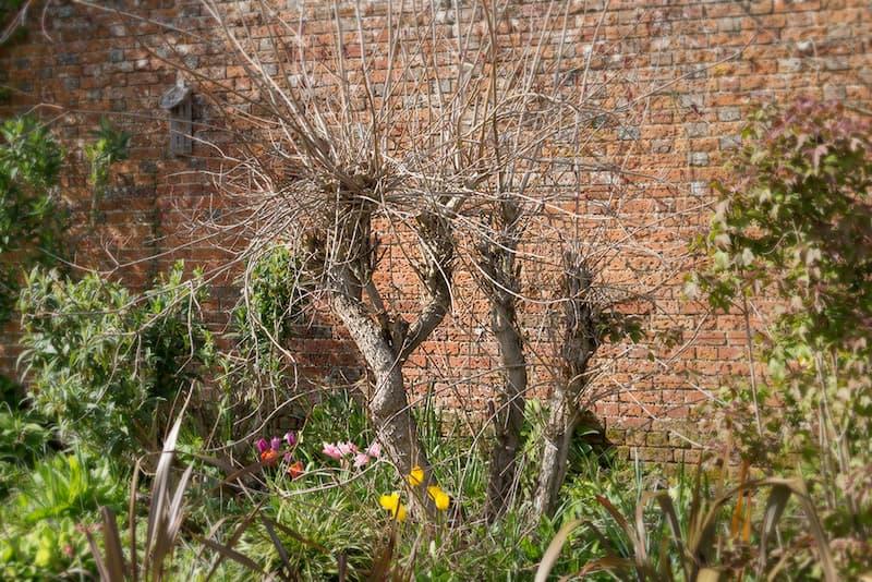 Pruikenboom snoeien: beoordeel de struik