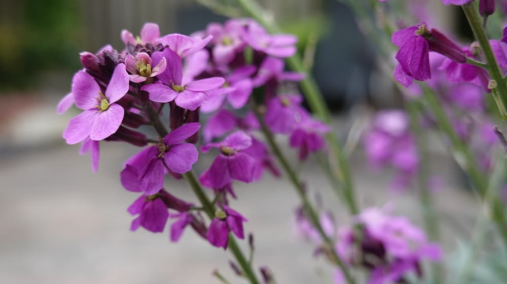 Snijbloemen zaaien in maart: violier (Matthiola)