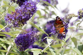 Vlinderstruik snoeien na de winter