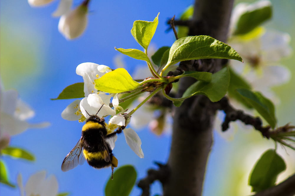 Wilde bijen op bloesem