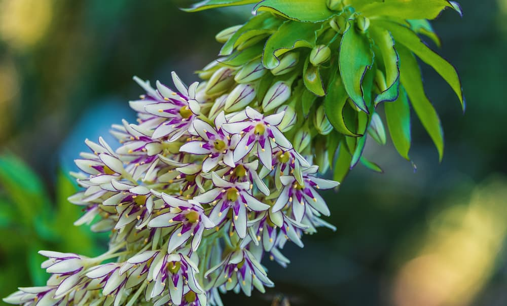 Ananasplant (Eucomis)