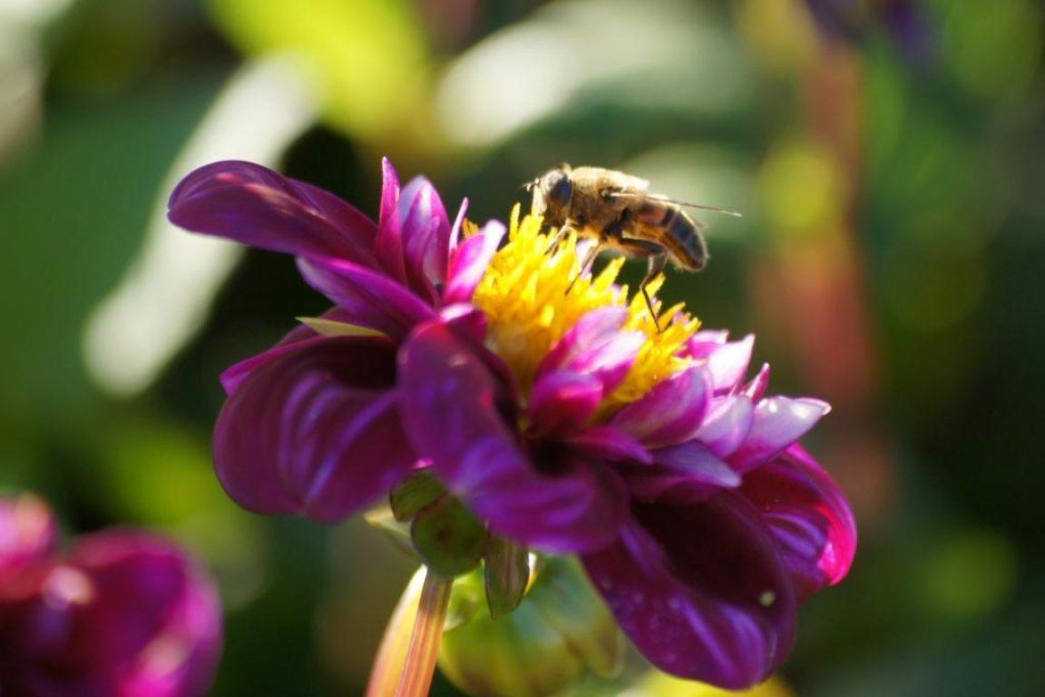 Natural Bulbs - Dahlia 'Impression Fantastico'