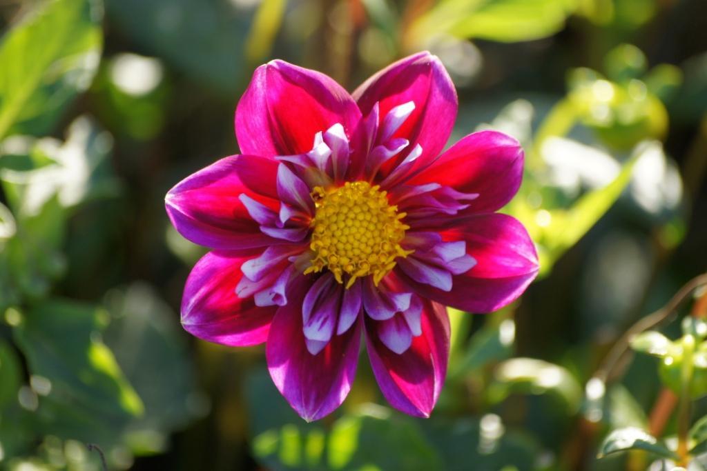 Natural Bulbs Dahlia 'Impression Fantastico'